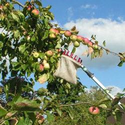 Apfelernte im Rohrbachtal am 6. Oktober 2020