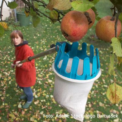 Apfelernte im Rohrbachtal am 12. Oktober 2021
